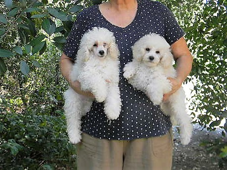 Gail Zamora S Poodles Available Puppies